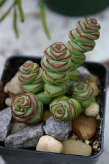 Succulent of the Week (2/6)