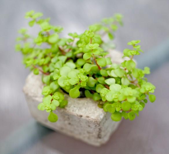 small sedum square pot