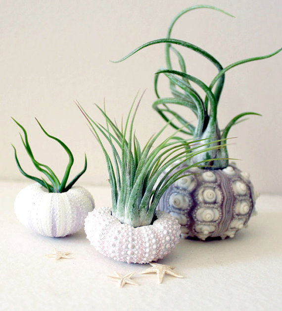 tillandsia urchins three