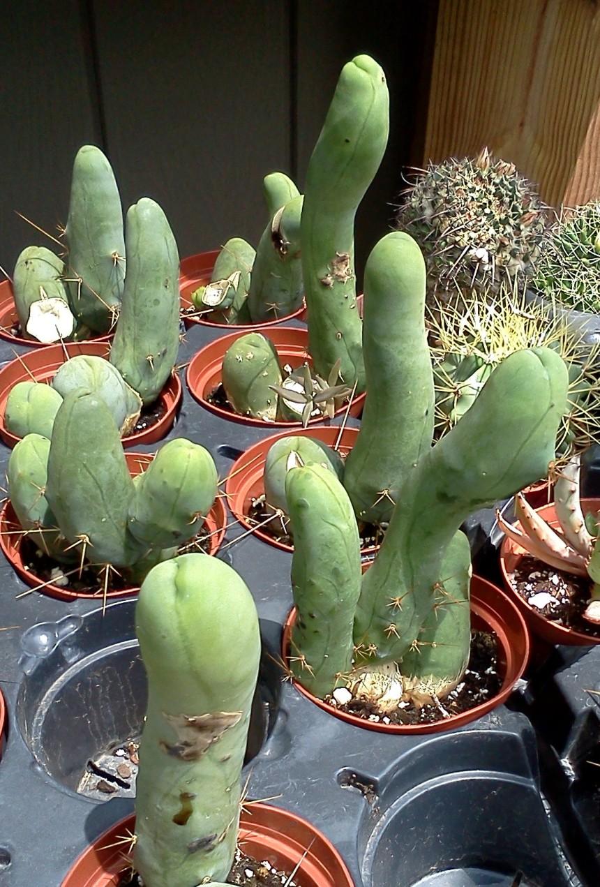 penis crop2