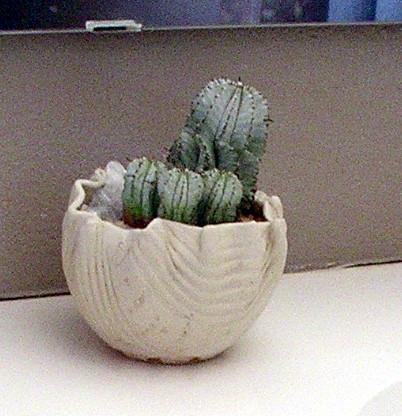vandyke white pot better closeup